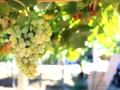 Uvas maduras